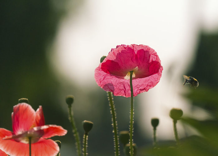 Bee flying to poppy Beauty In Nature Bee Bud Close-up Day Flower Flower Head Flowering Plant Focus On Foreground Fragility Freshness Growth Inflorescence Nature No People Outdoors Petal Pink Color Plant Stem Pollen Pollenation Poppy Poppy Flowers Selective Focus Vulnerability