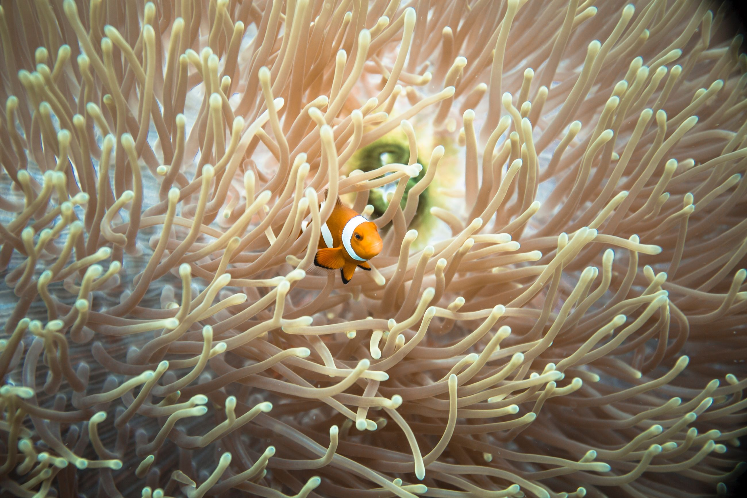 animals in the wild, clown fish, animal themes, animal wildlife, animal, sea, underwater, water, sea life, coral, undersea, marine, invertebrate, fish, beauty in nature, swimming, vertebrate, no people, group of animals, ecosystem