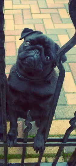 Daisy ♥ Mops Dog