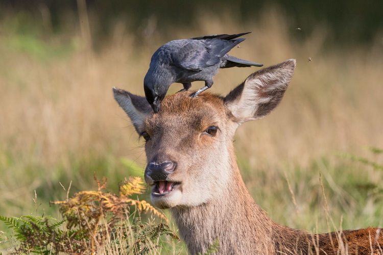 Close-up of crow on red deer head
