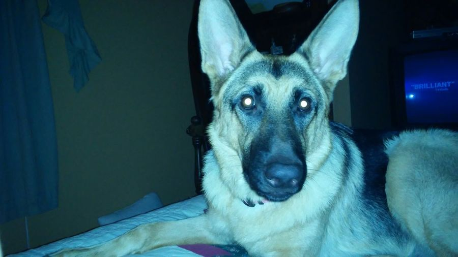 Portrait of german shepherd with glowing eyes relaxing on bed at home