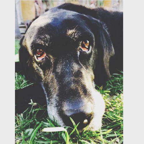 Labrador Sad Eyes Puppy Eyes Sadness I Miss My Mom. Dog Love Dog Life Black Dog RIP :( She just had to be put down yesterday