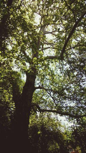 çınar Ağacı Nature Nature Photography