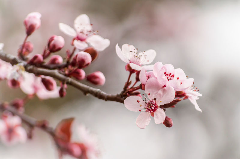 Apple Blossom Apple Tree Beauty In Nature Blossom Botany Branch Cherry Blossom Cherry Tree Close-up Day Flower Fragility Freshness Growth Nature No People Orchard Petal Pink Color Plum Blossom Selective Focus Springtime Tree Twig White Color