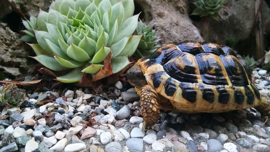 EyeEm Selects Prickly Pear Cactus Cactus Close-up Animal Themes Plant Reptile Spiked Barrel Cactus Chameleon Tortoise Shell Bearded Dragon Snake Sea Turtle Spiky Tortoise Alligator Iguana Snail Gecko Thorn Animal Shell Turtle