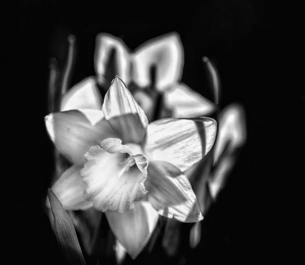 Narcissus Calm Relaxing Poster Background EyeEm Selects Flower Head Flower Black Background Human Hand Love Females Rose - Flower Passion Valentine's Day - Holiday Petal Bunch Of Flowers
