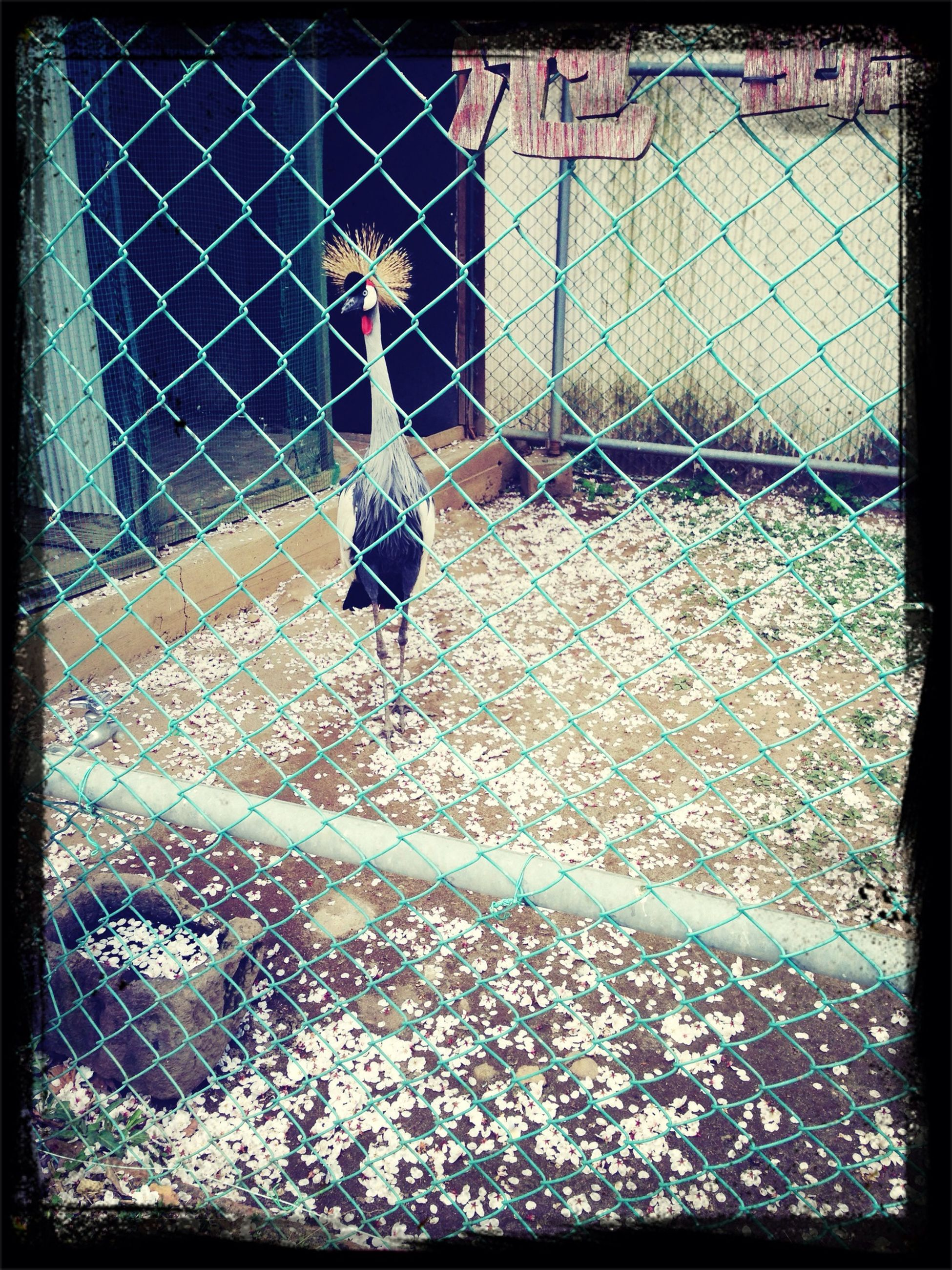 bird, animal themes, transfer print, animals in the wild, fence, wildlife, auto post production filter, one animal, full length, chainlink fence, protection, day, safety, metal, outdoors, perching, security, no people, nature, pigeon