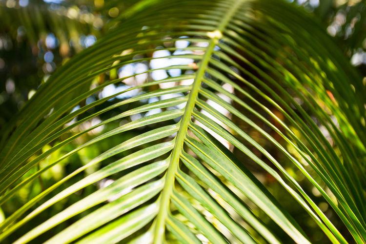 Green Palm Palm