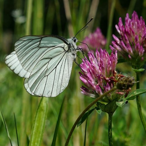 Close-up of white butterfly on purple flower during sunny day