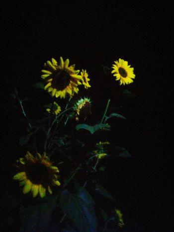 Sunflowers🌻 Summer Flowers Summer Nights Night Shots