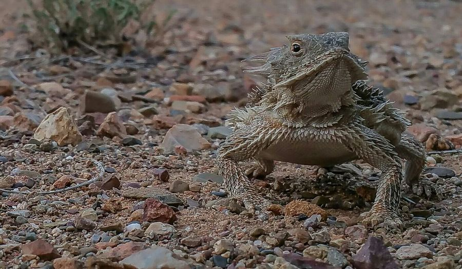 Desert Horny Toad EyeEm Best Shots - Nature