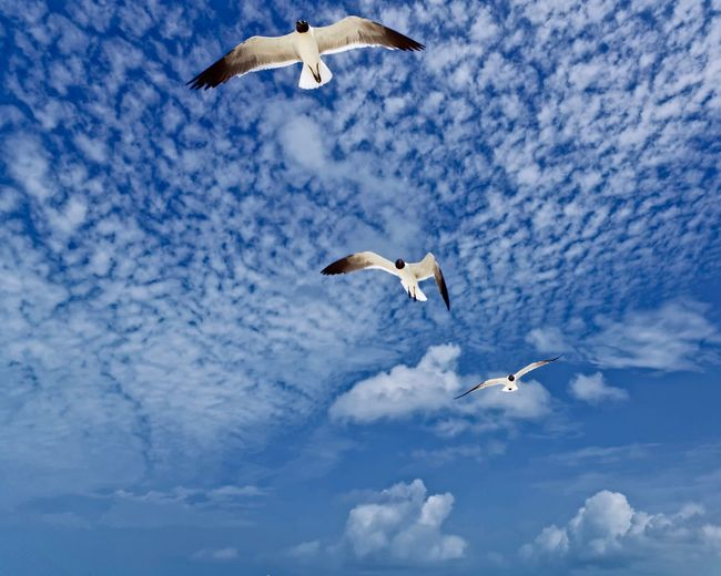 Flying Bird Spread Wings Animals In The Wild Animal Themes Animal Wildlife Mid-air Sky Seagull Cloud - Sky Nature Low Angle View No People Day Outdoors Beauty In Nature