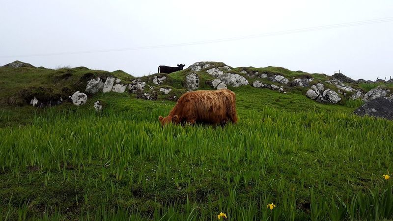 Peekaboo Scotland Nature Photography Hawaii Of The North Highland Cow Coo Tiree Argyll And Bute Agriculture Rural Scene Animal Themes Grass Sky Grass Area Cow Highland Cattle Cattle Horned
