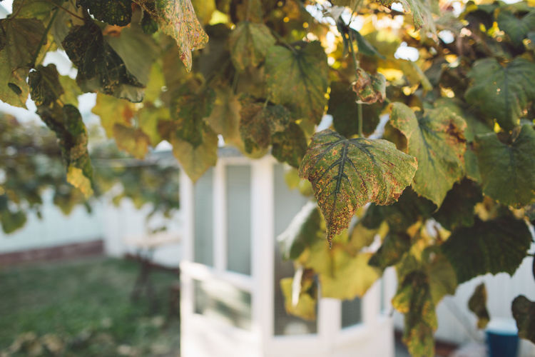 Vine Vineyard Grapes Autumn Outdoors Harvest Harvest Time Plant Fruit Growth Tree Leaf Plant Part Nature Day Focus On Foreground Beauty In Nature Green Color No People Close-up Tranquility Healthy Eating Branch Freshness Sunlight Boundary Barrier