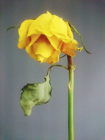 Yellow Fragility Close-up Flower No People Flower Head Crumpled Withered Flower Withered Beauty Withered Rose Yellow Rose