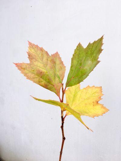 Close-up of maple leaf on white background