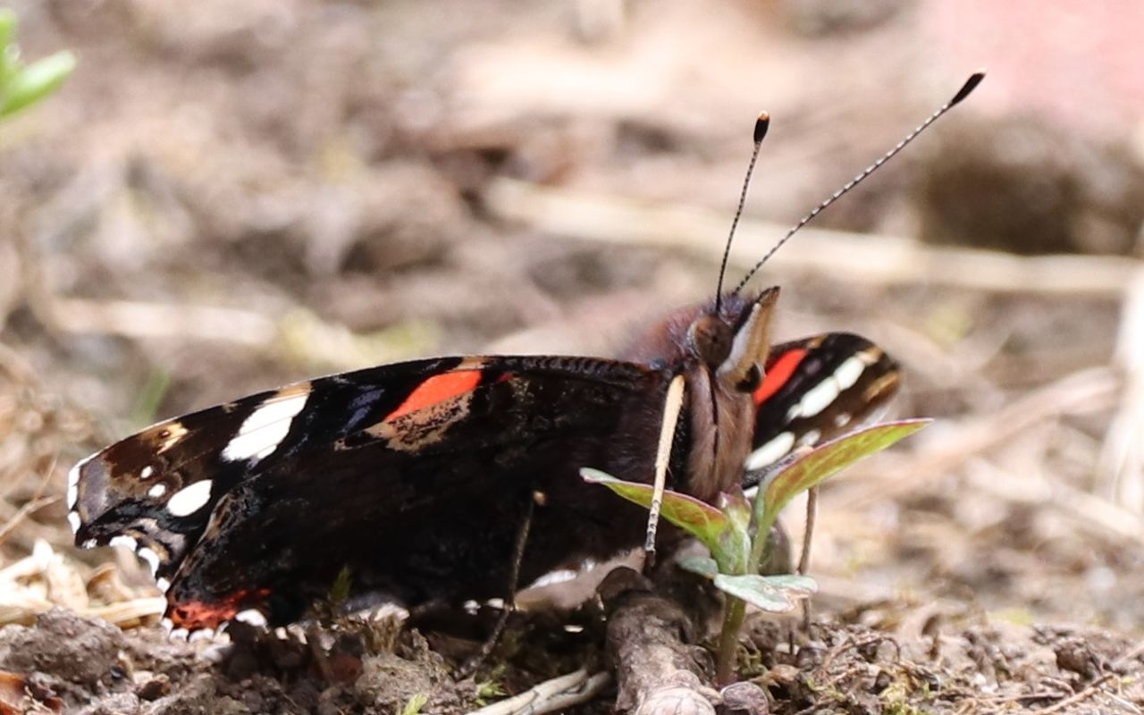 animal wildlife, animals in the wild, animal themes, animal, one animal, invertebrate, insect, close-up, nature, focus on foreground, day, animal wing, butterfly - insect, no people, field, sunlight, land, outdoors, black color, animal antenna, butterfly