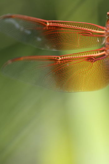 Animal Themes Animal Wing Animals In The Wild Beauty In Nature Close-up Day Dragonfly Flight Flying Focus On Foreground Fragility Green Color Insect Macro Macro Photography Natural Pattern Nature No People One Animal Orange Outdoors Plant Selective Focus Side View Wildlife