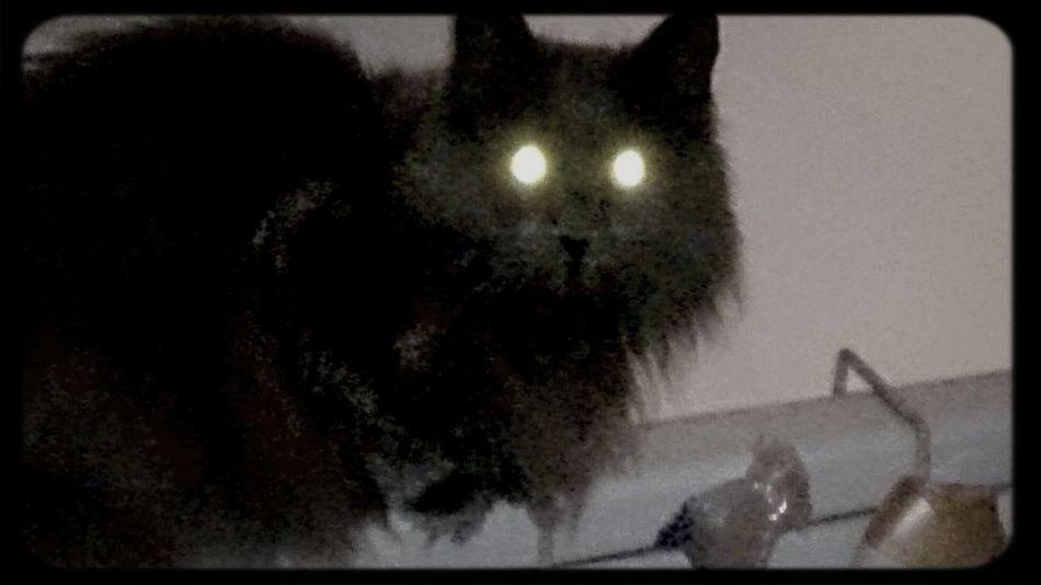 Cats Cat Evil Cat Evil