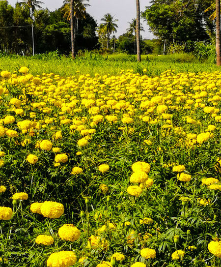 YELLOW FLOWER BEAUTY... YELLOW FIELD... Green Plants Very Large Number Of Flowers Crysanthemum Flower Field Beauty In Nature ❤️❤️ Flowers Nature_collection Plant Beauty Flowerscape Yellow
