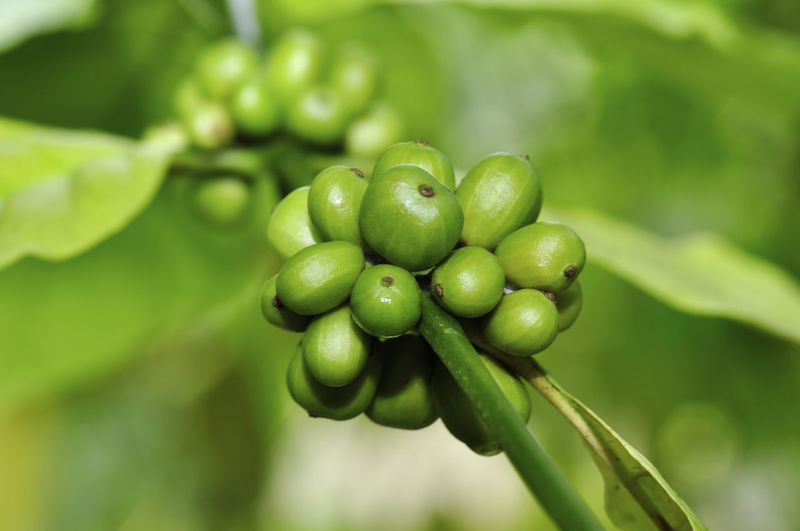 fresh coffee beans Green Color Growth Freshness Food And Drink Healthy Eating Plant Fruit Food Close-up Focus On Foreground No People Nature Day Beauty In Nature Leaf Plant Part Selective Focus Agriculture Wellbeing Outdoors Ripe