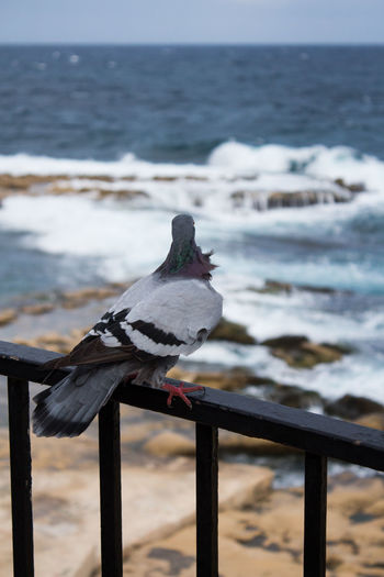 Sea Water Vertebrate Animal Animal Themes Bird Perching Railing One Animal Focus On Foreground No People Nature Scenics - Nature Day Beach Wood - Material Land Outdoors Seagull Malta Dove