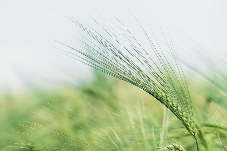 .. 178x365 .. . Plant Growth Crop  Agriculture Field Nature Cereal Plant Green Color Beauty In Nature Close-up Land Selective Focus No People Wheat Ear Of Wheat Focus On Foreground Rural Scene Day Grass Freshness Outdoors Blade Of Grass Stalk