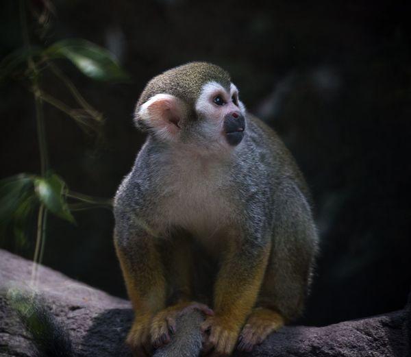 Squirrel Monkey On Tree