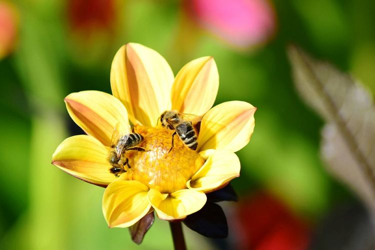 Paint The Town Yellow Flower Insect Animals In The Wild Nature Plant Focus On Foreground Outdoors Freshness Beauty In Nature Your Ticket To Europe Berlin Tamron Lens Berlin Love Nikonphotography Nikond5300 Travel Destinations Discover Berlin IGA 2017 Berlin Germany
