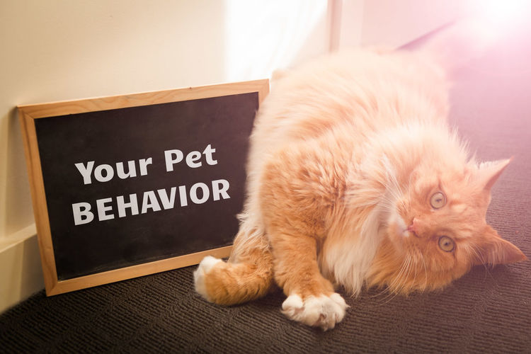 Animal Fluffy Fur Looking Adorable Adult Behavior BIG Blackboard  Cat Chalk Chalkboard Clean Closeup Concept Conceptual Cute Discussion Domestic Eyes Face Feline Ginger Issues Message Orange Paw Pet Pet Behavior Serious Text Typography Your