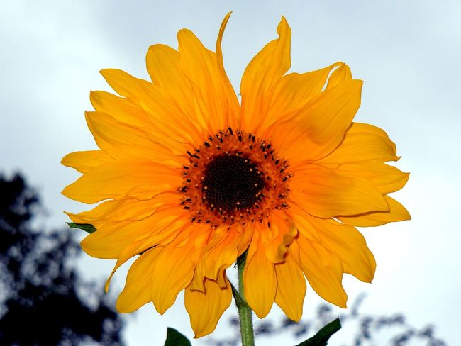 Beauty In Nature Blooming Blossom Close-up Day Flower Flower Head Fragility Freshness Growth Nature No People Outdoors Petal Plant Pollen Sky Springtime Sunflower Yellow