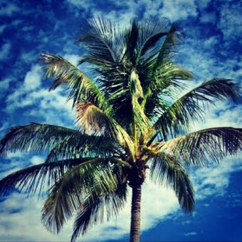 Palmtree StandingTALL Scatteredclouds Highinthesky MathesonHammockPark Florida