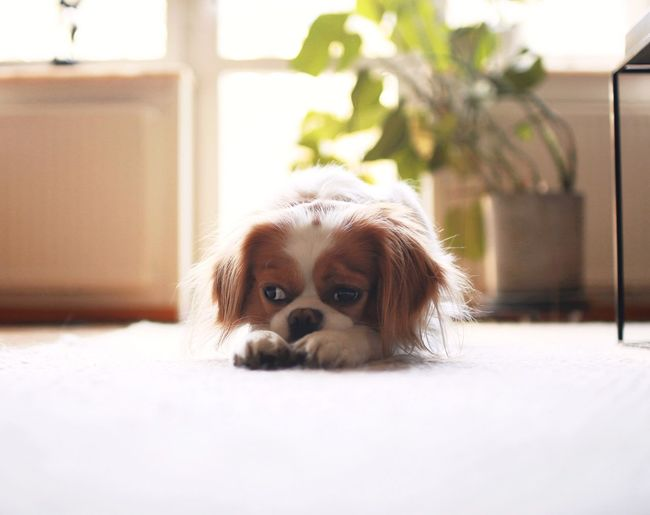 Pets Dog One Animal Domestic Animals Mammal Animal Themes Looking At Camera Indoors  Portrait Day Cavalier King Charles Spaniel No People Close-up Dog Love Waiting Mornings Morning Light Dogslife Pet Portraits Bored