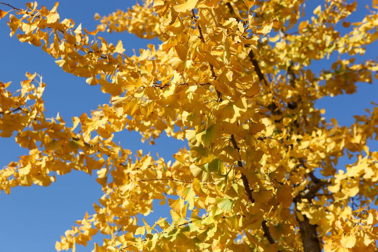 Close-up of autumn ginkgo leaves