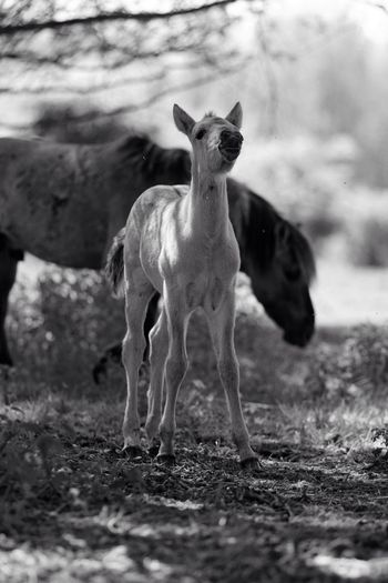 Young Foal Checking Me Out Smelling Me Monochrome Mammal Animal Themes Field Young Animal Domestic Animals Day No People Outdoors Nature Full Length Grass Blackandwhite Black And White Black & White