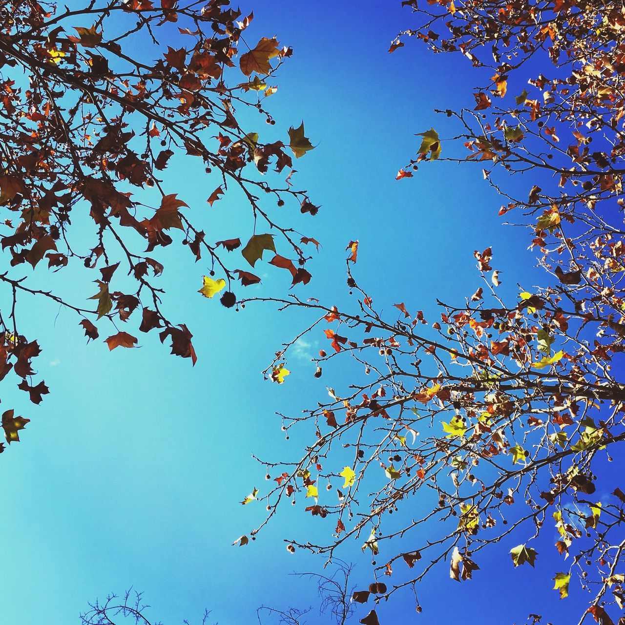 low angle view, beauty in nature, tree, branch, blue, nature, growth, flower, no people, sky, day, clear sky, outdoors, scenics, fragility, freshness