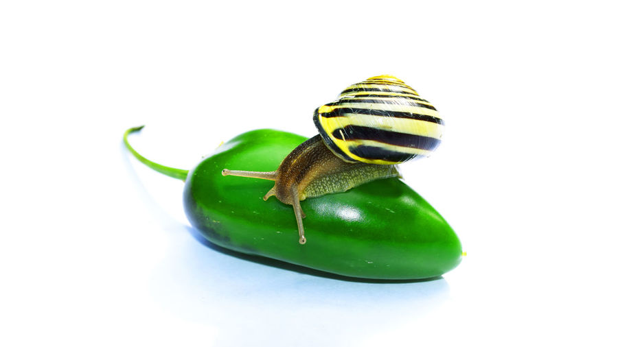 Close-up of snail on jalapeno against white background