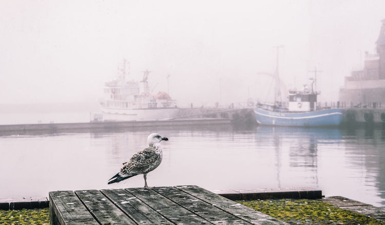 70-200mm F/4 L A7 Denmark Fredensborg Harbor Helsingør Morning Morning Light Day Fish Fisherman Fishing Fishing Boat Outdoors Rob Sea Seagull Sony
