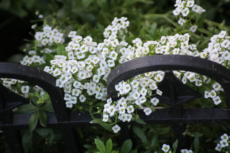 Close-up of white flowering plants in garden