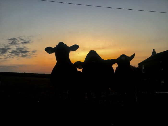 Moo silhouette