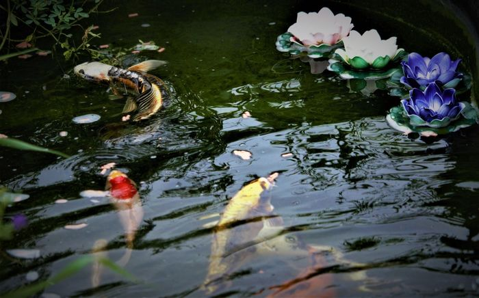Butterfly Koi Koi Pond Swimming Dragon Koi Pond Fish Water Water Lily