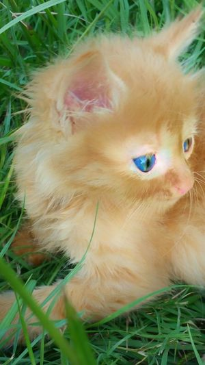 Kitten Cat American Bobtail Cats Bobtail Cats Bobtail Feline Orange Tabby Blue Eyes Kitten Playing Playing In The Grass Animal Photography Animal Trucker Cats Manic Manic Cats