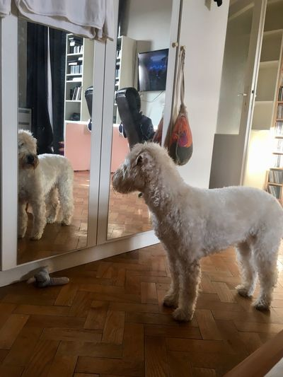 Reflection Pets Mirror Reflection Interior Indoors  No People Hardwood Floor Animal Themes Looking At Mirror Dog Looking At Mirror The Still Life Photographer - 2018 EyeEm Awards