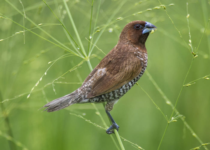 Scarly-breasted Munia [Burung Pipit Pinang] Grass Mamal Seeds Animal Animal Themes Animal Wildlife Animals In The Wild Beauty In Nature Bird Close-up Day Grass Seeds Green Color Insect Invertebrate Nature No People One Animal Outdoors Perching Pinang Pipit Plant Scarly Breasted Zoology