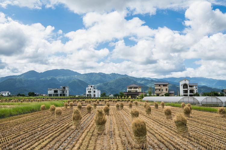 烈陽下的稲草卷