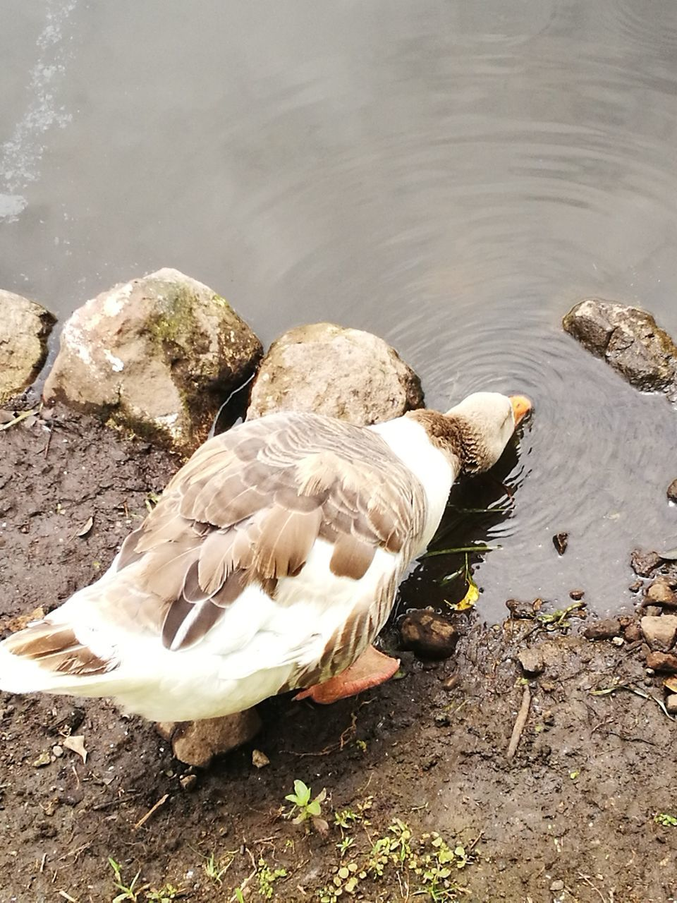 animals in the wild, animal themes, bird, one animal, lake, animal wildlife, day, water, no people, nature, high angle view, outdoors, close-up, swan
