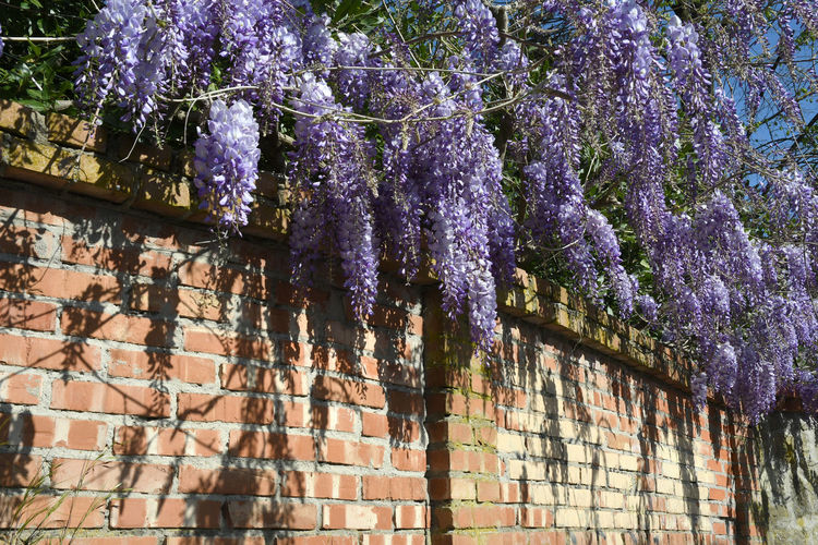 View of purple flowering plants on wall