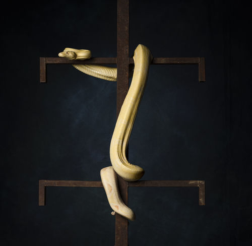 Python Reticulatus Albino Boa Constrictor Boa Architecture Belief Black Background Close-up Design Food And Drink Handle Hanging Indoors  Metal No People Punishment Safety Single Object Strength Studio Shot Technology Yellow