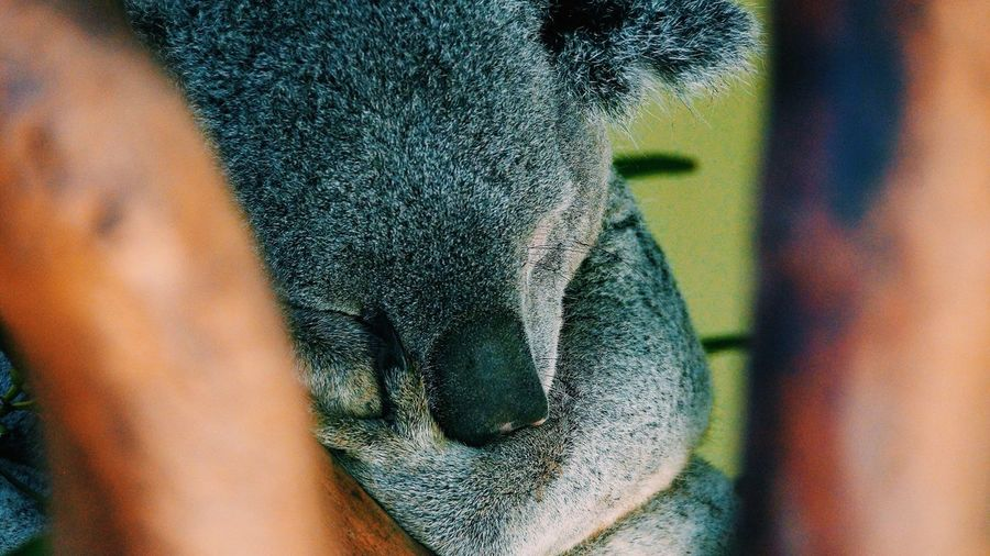 Showing Imperfection I couldn't get clear view of this adorable Koala such a cutie. Animals Pet Australia Aussie Animal Photography Animal_collection Night Night, Sleep Tight The Following