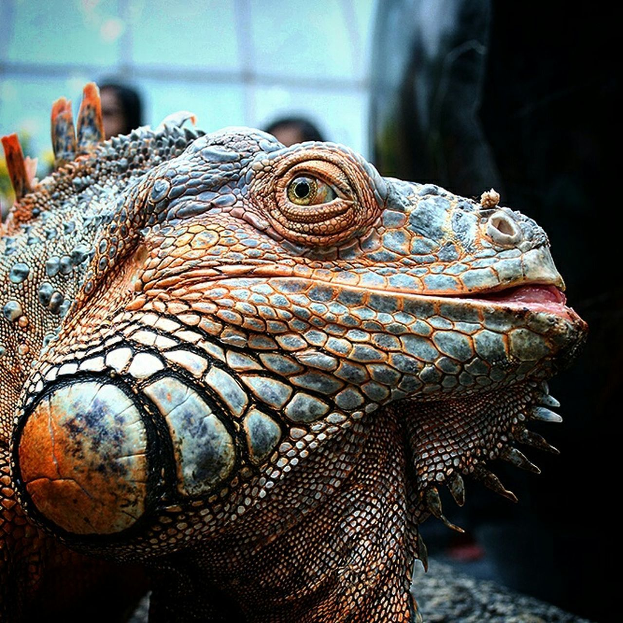 reptile, one animal, animal wildlife, animals in the wild, lizard, animal themes, close-up, iguana, bearded dragon, no people, day, focus on foreground, animal scale, outdoors, nature, dragon